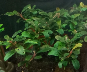 Bucephalandra-lamandau-Mini-Red